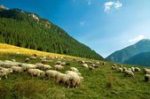 Sheep farm in the mountains — Stock Photo