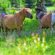 Three horses - Stock Photo