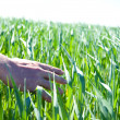 Hand touching fresh wheat - Stock Photo