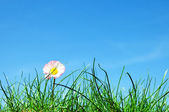 Green grass, flower and blue sky — Stock Photo
