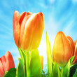 Beautiful spring tulips background