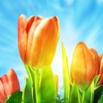 Beautiful spring tulips background — Stock Photo