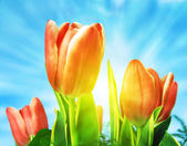 Beautiful spring tulips background — Stock Photo