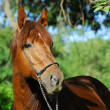 Stock Photo: Red hack stallion of riding stables