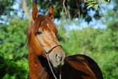 Red hack stallion of riding stables — Stock Photo