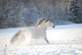 Grey andalusian horse gallops the snow — Stock Photo