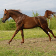 Proud red arabian horse gallop - Stock Photo