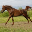 Proud red arabian horse gallop - 
