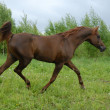 Stately red arabian horse trot - Stock Photo