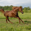 Stately red arabian horse gallop's — Stok fotoğraf