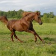 Foto de Stock  : Stately red arabihorse gallop's