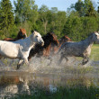 Flock of horses in splashes - Stock Photo