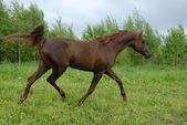 величественный красный аравийской лошади рысью — Стоковое фото
