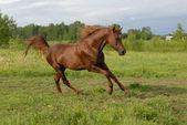 величественный красный аравийская лошадь галопом — Стоковое фото