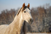 Portrait grey andalusian horse — Stock Photo
