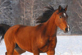Beautiful red arabian horse on winyer — Stock Photo