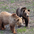 Stock Photo: Two brawn bears