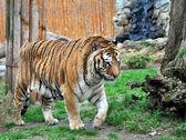 Tygrys bengalski — Zdjęcie stockowe
