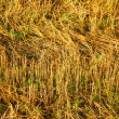 Royalty-Free Stock Photo: Golden glowing dry grass