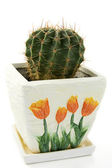 Cactus in white pot with orange flowers — Stock Photo