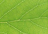 Leaves leaf veins — Stock Photo