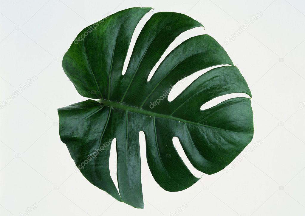 Leaves leaf veins — Stock Photo #1736407