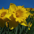 Stock Photo: Jonquil