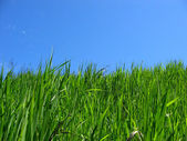 Green grass & blue sky — Stock Photo