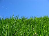 Green grass & blue sky — Stock Photo