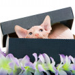 Sphinx kitten — Stock Photo