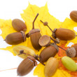 Set of acorns white isolated (XXL) — Stock Photo