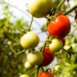 Growth tomato — Stock Photo