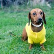Beautiful dwarfish dachshund — Stock Photo #1755622