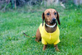 Beautiful dwarfish dachshund — Stock Photo