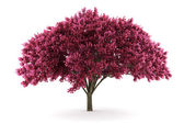 Cherry tree isolated on white — Stock Photo