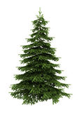 Spruce tree isolated on white — Photo