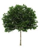 Mountain ash tree isolated on white — Stock Photo