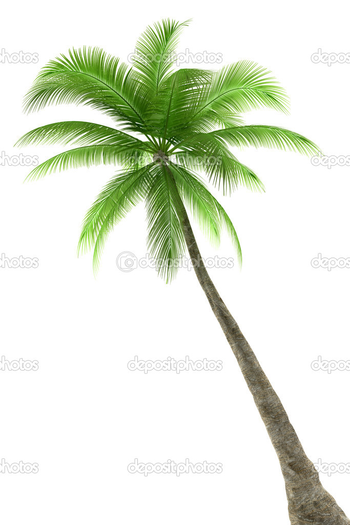 Palm tree isolated on white background  Stock Photo #1791705