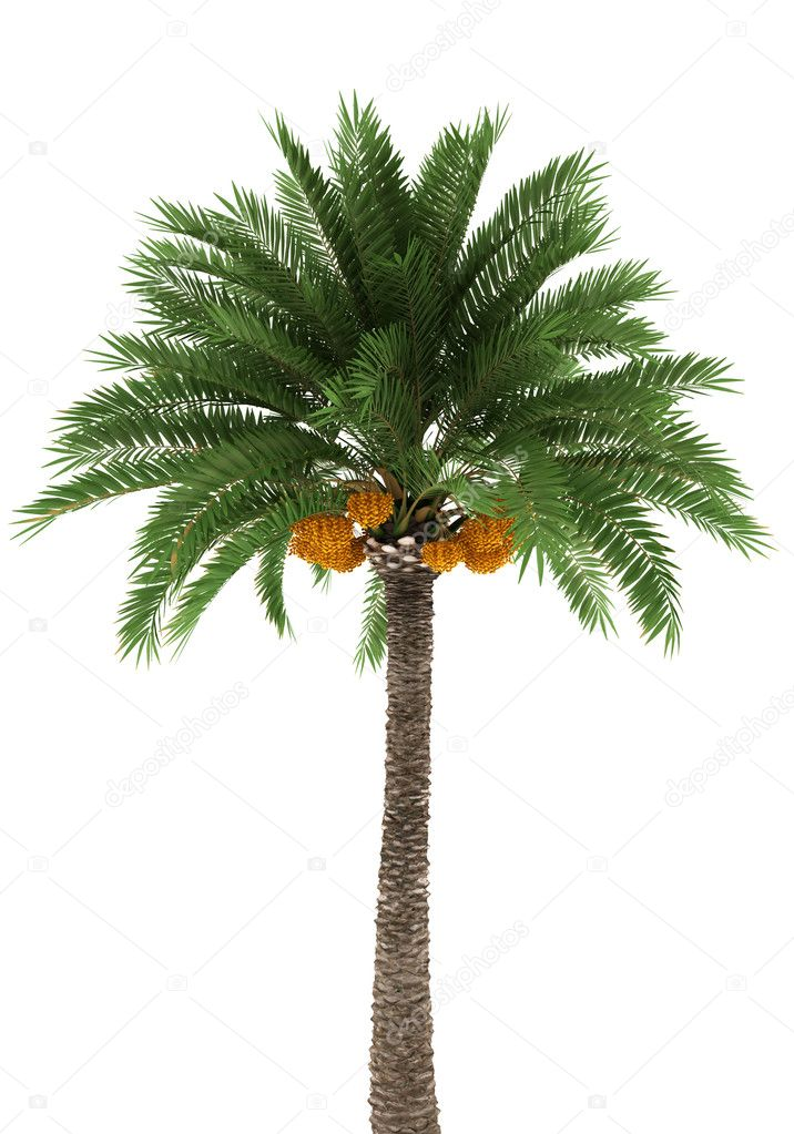 Palm tree isolated on white background with clipping path — Photo #1791751