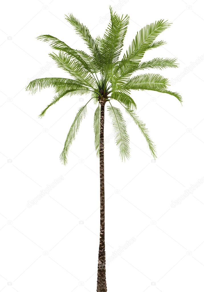 Very Best Palm Tree On White 716 x 1023 · 1507 kB · jpeg