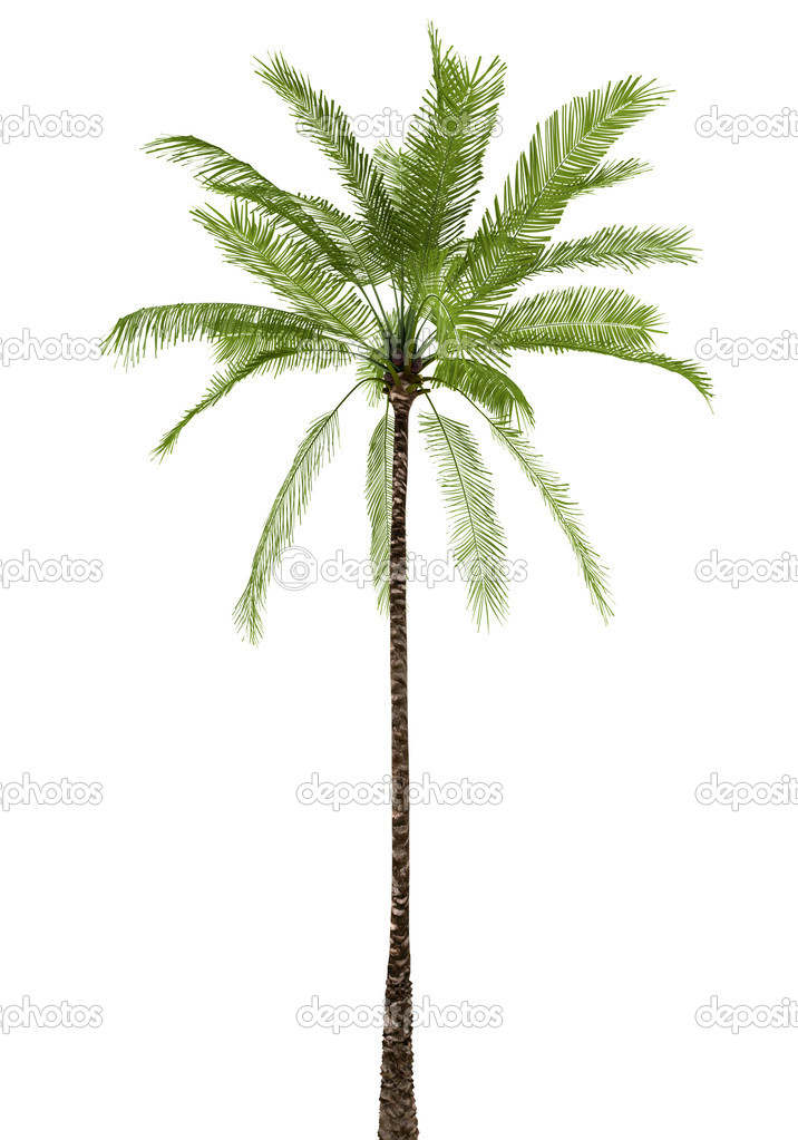 Palm tree isolated on white background with clipping path — Stock Photo #1791764