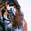 Gorgeous Sumatran tiger — Stock Photo #1818756