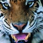Gorgeous Sumatran tiger — Stock Photo
