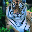 Gorgeous Sumatran tiger — Stock Photo #1818775