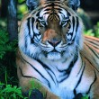 Gorgeous Sumatran tiger — Stockfoto