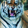 Gorgeous Sumatrtiger — Stock Photo #1818786