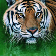 Gorgeous Sumatran tiger — Stock Photo #1818797