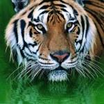 Tigre de Sumatra magnifique — Photo