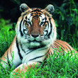 Gorgeous Sumatran tiger - Stock Photo