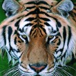Gorgeous Sumatran tiger — 图库照片